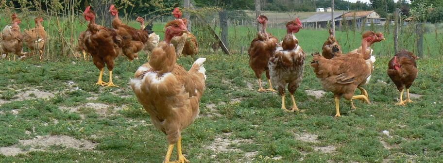 bio-poulet